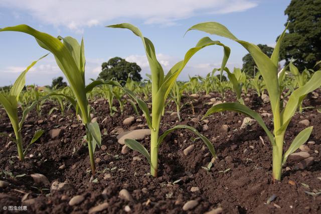 玉米高产并不难,这些方面要记全!还真的挺实用