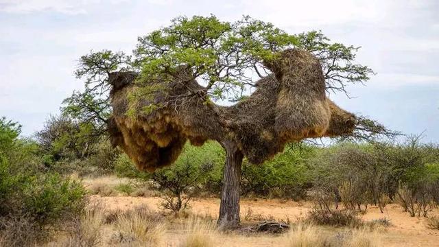 最大的鸟窝,却无人敢来掏鸟蛋,当地人:不要命的可以去