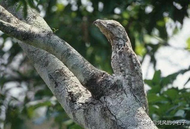 """世界上""""最会伪装""""的鸟, 一生装成枯枝, 产卵从不筑巢"""