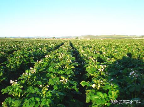 马铃薯的高产与施肥息息相关!给你介绍马铃薯施肥新升级技术